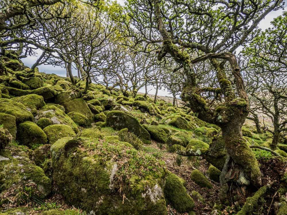 Mythago-Wood-or-Wistman's-Wood,-North-Copse-(409-m)2